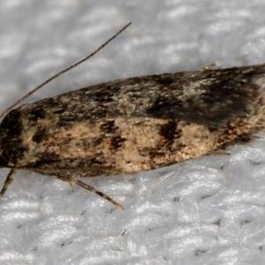 Barea (genus) at Melba, ACT - 17 Jan 2021