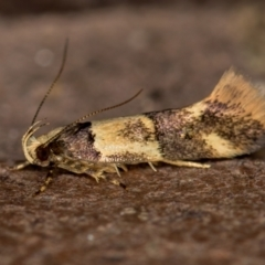 Macrobathra hamaxitodes (A Gelechioid moth) at Melba, ACT - 16 Jan 2021 by Bron