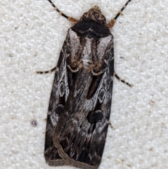 Agrotis munda (Brown Cutworm) at Melba, ACT - 16 Jan 2021 by Bron