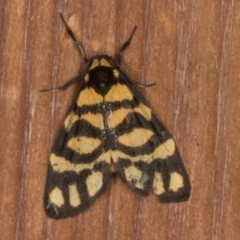 Asura lydia (Lydia Lichen Moth) at Melba, ACT - 17 Jan 2021 by Bron