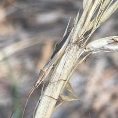 Mutusca brevicornis (A broad-headed bug) at Majura, ACT - 7 Apr 2021 by Tapirlord