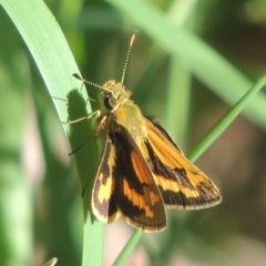 Ocybadistes walkeri (Greenish Grass-dart) at Conder, ACT - 16 Apr 2021 by michaelb