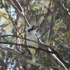 Dacelo novaeguineae (Laughing Kookaburra) at Woodstock Nature Reserve - 23 Apr 2021 by wombey