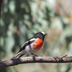 Petroica boodang (Scarlet Robin) at Woodstock Nature Reserve - 23 Apr 2021 by wombey