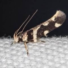 Macrobathra baliomitra (A Gelechioid moth) at Melba, ACT - 15 Jan 2021 by Bron