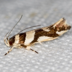 Macrobathra desmotoma ( A Cosmet moth) at Melba, ACT - 15 Jan 2021 by Bron