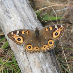Junonia villida (Meadow Argus) at Duffy, ACT - 22 Apr 2021 by MatthewFrawley