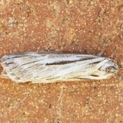 Ciampa arietaria (Forked Pasture-moth) at Lyneham, ACT - 23 Apr 2021 by tpreston