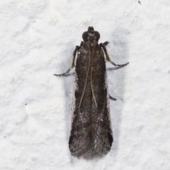 Assara subarcuella (a Phycitine Moth) at Melba, ACT - 20 Apr 2021 by kasiaaus