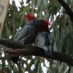 Callocephalon fimbriatum (Gang-gang Cockatoo) at ANBG - 22 Apr 2021 by RodDeb