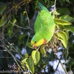 Polytelis swainsonii (Superb Parrot) at Hughes, ACT - 23 Apr 2021 by BIrdsinCanberra