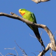 Polytelis swainsonii (Superb Parrot) at Red Hill Nature Reserve - 23 Apr 2021 by JackyF