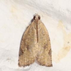 Meritastis (genus) (A Bell moth (Tortricinae)) at Melba, ACT - 20 Apr 2021 by kasiaaus