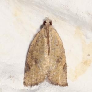 Meritastis (genus) at Melba, ACT - 20 Apr 2021