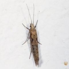 Plutella xylostella (Diamondback Moth) at Melba, ACT - 20 Apr 2021 by kasiaaus