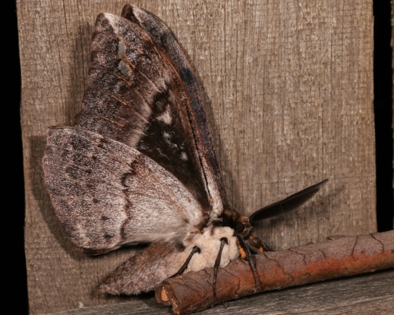 Chelepteryx collesi at Melba, ACT - 21 Apr 2021