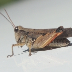 Phaulacridium vittatum (Wingless Grasshopper) at Conder, ACT - 26 Feb 2021 by michaelb