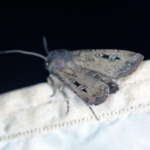 Agrotis infusa at Deua National Park (CNM area) - 16 Apr 2021