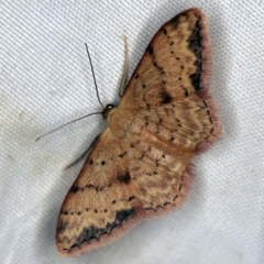 Idaea halmaea (Two-spotted Wave) at Deua National Park (CNM area) - 16 Apr 2021 by ibaird