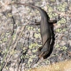 Pseudemoia entrecasteauxii (Woodland Tussock-skink) at Namadgi National Park - 23 Apr 2021 by SWishart