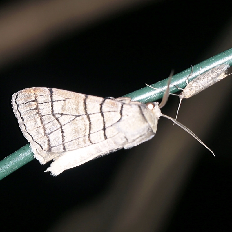 Liometopa rectilinea at Deua National Park (CNM area) - 16 Apr 2021