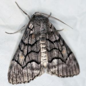 Stibaroma undescribed species at Deua National Park (CNM area) - 16 Apr 2021