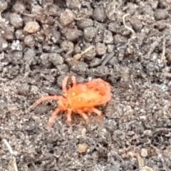 Trombidiidae sp. (family) (Red velvet mite) at Palerang, NSW - 24 Apr 2021 by tpreston