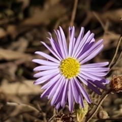 Brachyscome rigidula (Hairy cut-leaf daisy) at Forbes Creek, NSW - 24 Apr 2021 by tpreston