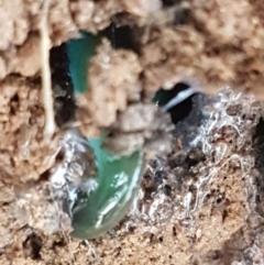 Caenoplana coerulea (Blue Planarian, Blue Garden Flatworm) at Tallaganda National Park - 24 Apr 2021 by tpreston