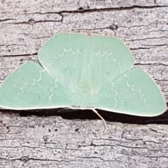 Maxates calaina (Neat-angled Emerald) at Tallaganda National Park - 24 Apr 2021 by tpreston