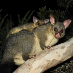 Trichosurus vulpecula (Common Brushtail Possum) at Kambah, ACT - 23 Apr 2021 by MatthewFrawley