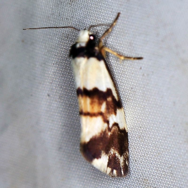 Philenora irregularis at Deua National Park (CNM area) - 16 Apr 2021