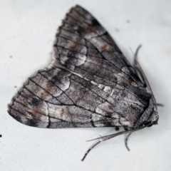 Stibaroma undescribed species (A Line-moth) at Deua National Park (CNM area) - 16 Apr 2021 by ibaird