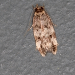 Barea (genus) (A concealer moth) at Melba, ACT - 13 Jan 2021 by Bron