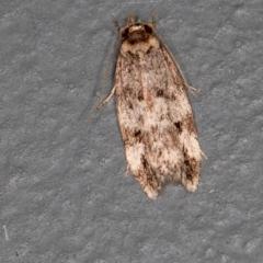 Barea (genus) (A concealer moth) at Melba, ACT - 13 Jan 2021 by Bron