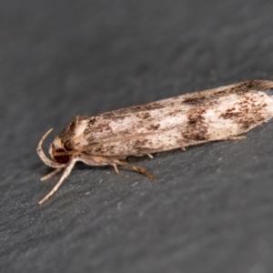 Barea (genus) at Melba, ACT - 14 Jan 2021