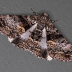 Gastrinodes argoplaca (Cryptic Bark Moth) at Melba, ACT - 13 Jan 2021 by Bron