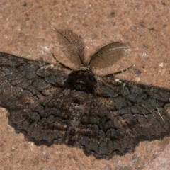 Melanodes anthracitaria (Black Geometrid) at Melba, ACT - 13 Jan 2021 by Bron