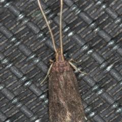 Lecithocera terrigena at Melba, ACT - 14 Jan 2021