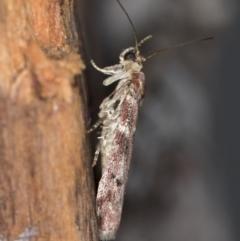 Ephestiopsis oenobarella at Melba, ACT - 14 Jan 2021