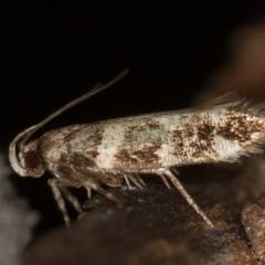 Macrobathra baliomitra (A Gelechioid moth) at Melba, ACT - 13 Jan 2021 by Bron