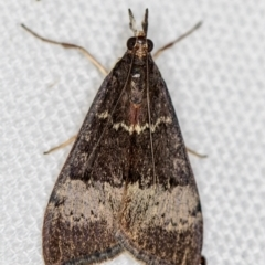 Uresiphita ornithopteralis (Tree Lucerne Moth) at Melba, ACT - 13 Jan 2021 by Bron