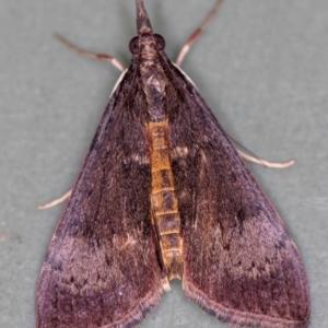 Uresiphita ornithopteralis at Melba, ACT - 14 Jan 2021