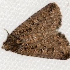 Condica aroana (A Noctuoid moth) at Melba, ACT - 14 Jan 2021 by Bron