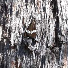 Nyctemera amicus (Senecio or Magpie moth) at Dryandra St Woodland - 24 Apr 2021 by ConBoekel