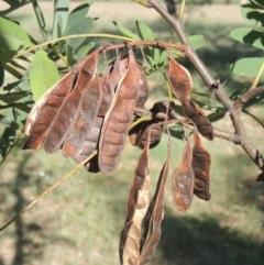 Robinia pseudoacacia (False Acacia or Black Locust) at Isabella Plains, ACT - 4 Mar 2021 by michaelb