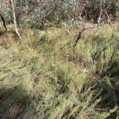 Chrysocephalum semipapposum (Clustered Everlasting) at Mount Majura - 25 Apr 2021 by waltraud
