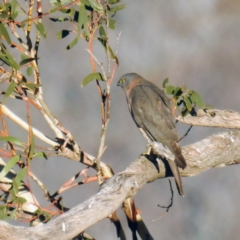 Accipiter fasciatus (TBC) at Namadgi National Park - 24 Apr 2021 by HelenCross