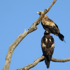 Aquila audax (Wedge-tailed Eagle) at Booth, ACT - 24 Apr 2021 by HelenCross