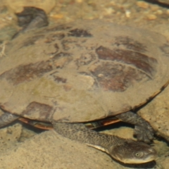 Chelodina longicollis (Eastern Long-neck Turtle) at Gigerline Nature Reserve - 25 Apr 2021 by ChrisHolder